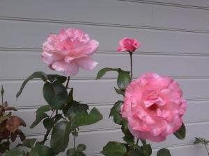 more beautiful roses